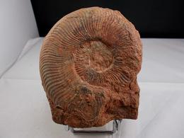 AMMONITE  10, X 8 5, Cm MONTS DU LYONNAIS - Fossiles