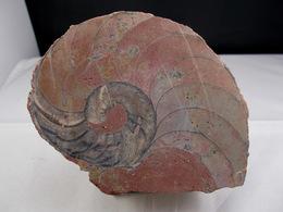 NAUTILE Scié   10, X  8, Cm MONTS DU LYONNAIS - Fossilien