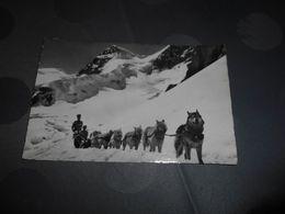 6942 - CPSM , Polarhunde Auf Dem Jungfraujoch, SUISSE - VS Valais