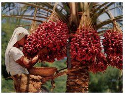 (631) Bahrein - Date Palm - Bahrain