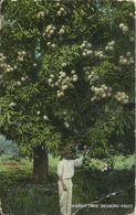 PC Jamaika Jamaica Mango Tree Bearing Fruit ~1915/20 - Ansichtskarten