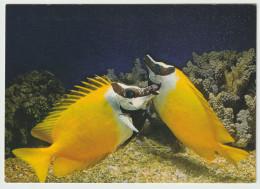 Australia QUEENSLAND GREAT BARRIER REEF Foxface Fish Peer 339 Postcard Used 1981 - Great Barrier Reef