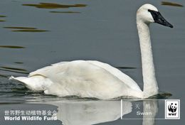 (NZ78-34 )  Swans Duck Birds  WWF Endangered Species  , Pre-stamped Card Postal Stationery-Postsache - Swans