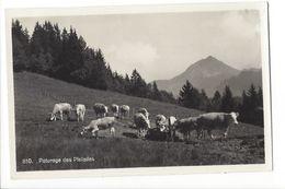 19525 - Paturage Des Pleïades Vaches - VD Vaud