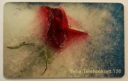 Snowy Rose - Sweden