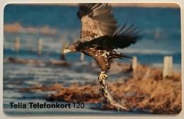 Eagle Hunting - Sweden