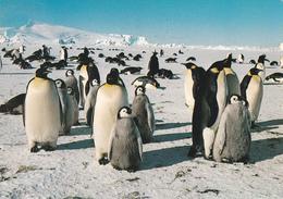 ROOKERIE DE MANCHOTS EMPEREURS  De 1984 - Voir Les 2 Scans - TAAF : Terres Australes Antarctiques Françaises