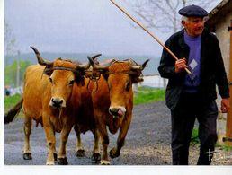 Attelage De Vaches , Photo Francis Debaisieux - Stieren