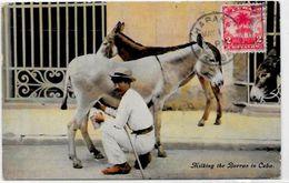 CPA Cuba Circulé Métier Ane - Cartes Postales