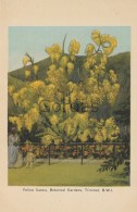 Trinidad - Botanical Gardens - Yellow Cassia - Trinidad