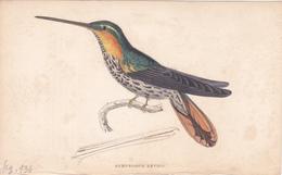Birds. Old Colored Lithography. RAMPHODON NEVIUS - Litografia