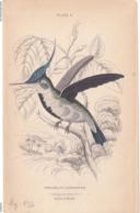 Birds. Old Colored Lithography. TROCHILUS CORNUTUS LODDIGESIL - Litografia