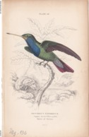 Birds. Old Colored Lithography. TROCHILUS SAPHIRINUS - Litografia