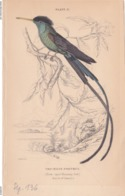 Birds. Old Colored Lithography. TROCHILUS POLYTMUS - Litografia