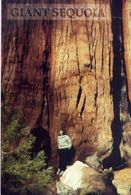 California - Gian Sequoia Sierra Nevada Mountains - Formato Grande Non Viaggiata – E 3 - Cartoline