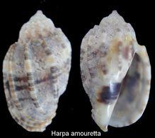 Harpa Amouretta - Coquillages