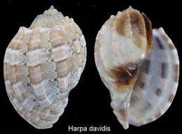 Harpa Davidis - Coquillages