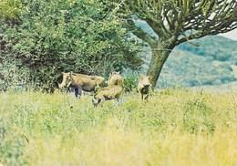 Afrique COULEUR Du BURUNDI   Faune Faune Phacochères (mammifère  Mammifères) * PRIX FIXE - Burundi