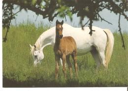 Très Joli Poulain Avec Jument Carte Postale Hallmark  Horse Postcard - Pferde