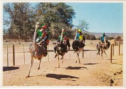 Oudtshoorn: OSTRICHES / VOLSTRUISE / STRUISVOGELS Racing At Full Speed - Highgate Ostriche Farm - South Africa - Zuid-Afrika