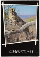 CHEETAH / JAGLUIPERD - Animal Life - South Africa - Zuid-Afrika