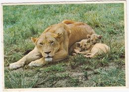 Lioness And Cubs / Leeuwyfie En Leeutjies  - South Africa - Zuid-Afrika