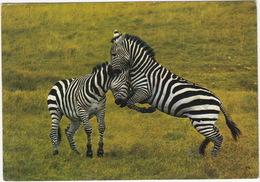ZEBRA - East African Wild Life - Kenya - Kenia