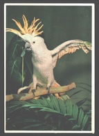 Grote Geelkuif Kakatoe / Cacatois A Huppe Jaune - Antwerpen Zoo - Vogels