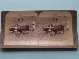 Plowing In The Valley Of Ajalon PALESTINE ( N° 8 ) Stereo Photo : Underwood & Underwood Publi ( Voir Photo ) ! - Photos Stéréoscopiques