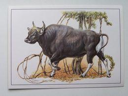 Banteng  (Bos Javanicus) - Stieren