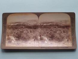 Plain Of Dothan, Palestine ( N° 64 ) Stereo Photo : Underwood & Underwood Publi ( Voir Photo ) ! - Stereoscopic
