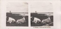 Stereofoto STETTIN - Weiden Mit Vieh A.d. Oder, Photogr. Steglitz Berlin 1904, Fotoformat Ca.18 X 8,8 Cm - Stereoscopic