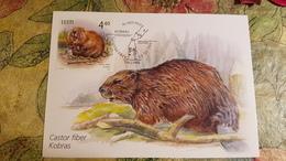Old  Postcard. Maxicard - Beaver, Ermine - 2005 - Animaux & Faune