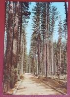 FOSSIATA - Parco Nazionale Della Sila - Bellezze Di Calabria Alberi Trees Arbres VG - Cosenza