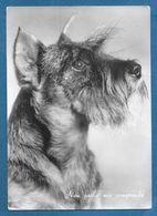 CANI DOGS CAMPIONE ITALIANO 1950 CLOTILDE ZWERGSCHNAU-ZER 1953 - Hunde