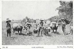 Sud-Est Asiatique (Viet-Nam?) - Yoke Buffalos, Culture Traditionnelle (Buffle, Palanche) Carte Non Circulée - Asie