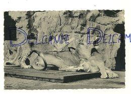 Jardin Zoologique D'Anvers Antwerpen. Lionne Et Ses Lionceaux. Photo Zoo.NELS - Lions