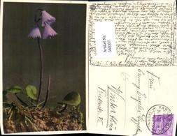 560307,Soldanella Alpina Blumen Alpen-Soldanelle - Botanik