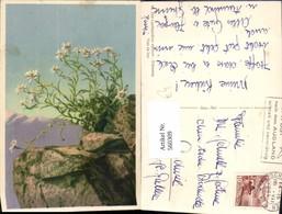 560309,Edelweiß Felsen Bergkulisse Blumen - Botanik