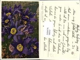 560312,Berg-Küchenschelle Blumen - Botanik