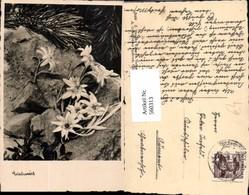 560313,Edelweiß Felsen Stein Kiefernzweig  Blumen - Botanik