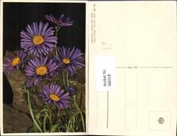 560318,Alpenaster Blumen - Botanik