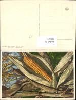 560321,Maiskolben Gemüse Frucht - Botanik