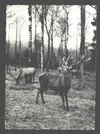 Protégeons La Nature - Cerf Aux écoutes - Hert / Hirsch / Deer - Nels Photothill - Animaux & Faune