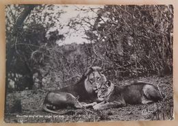 LION AND LIONESS - South Africa - The King Of The Jungle And Wife - Leone - Leon Vg - Lions