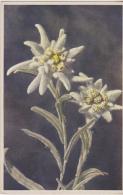Postcard - Art - Flowers - Leonfopodium Alpinum - Edelweiss - VG - Postcards