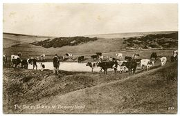 THE SOUTH DOWNS NR. BEACHY HEAD / HERD OF CATTLE - Eastbourne
