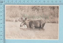 Moose Orignal - Carte Photo Par Byron Harmon Along Canadian Pacific Railway - Autres
