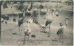 Stellingen-Hamburg - Carl Hagenbeck's Tierpark - Flamingos - Verlag Knackstedt & Näther Hamburg 1908 - Stellingen