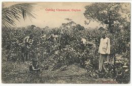 Ceylon Cutting Cinnamon Coupe Cannelle - Sri Lanka (Ceylon)
